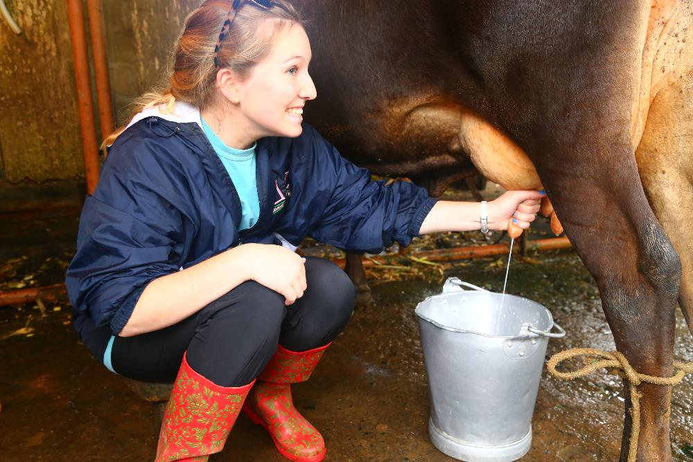 Costa Rica milking cow